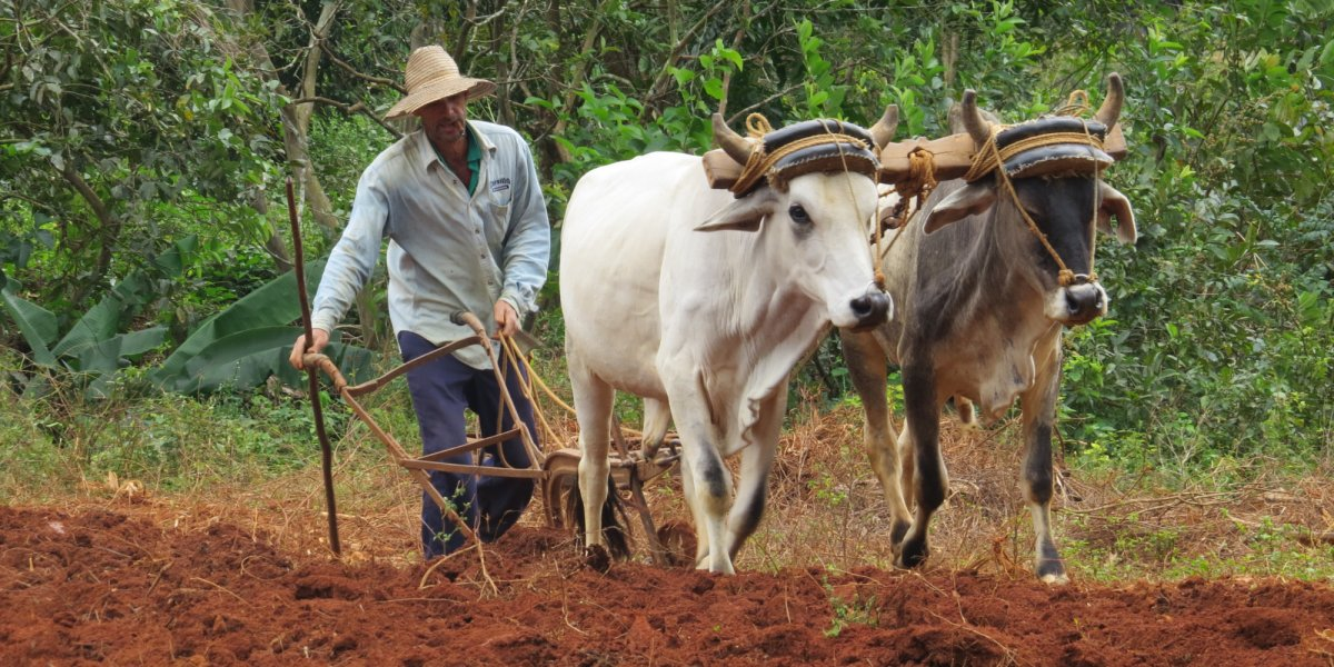 farmer with his cows in cuba