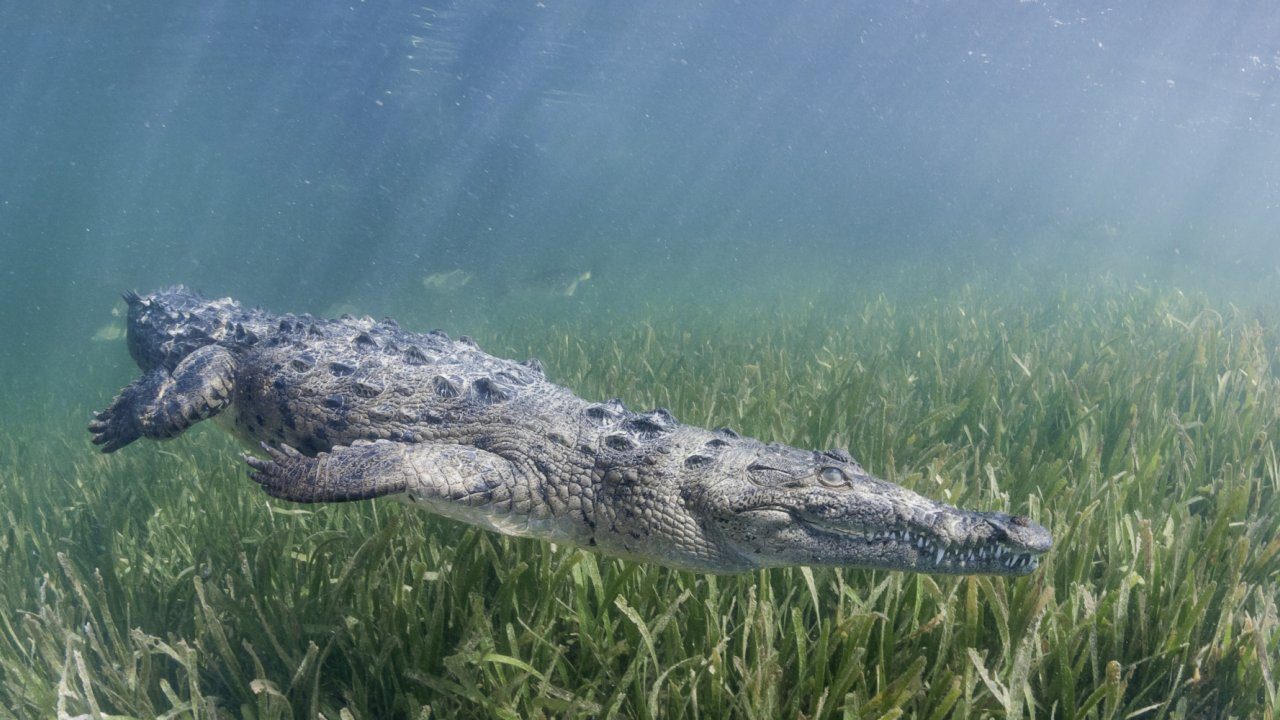 crocodile in cuba