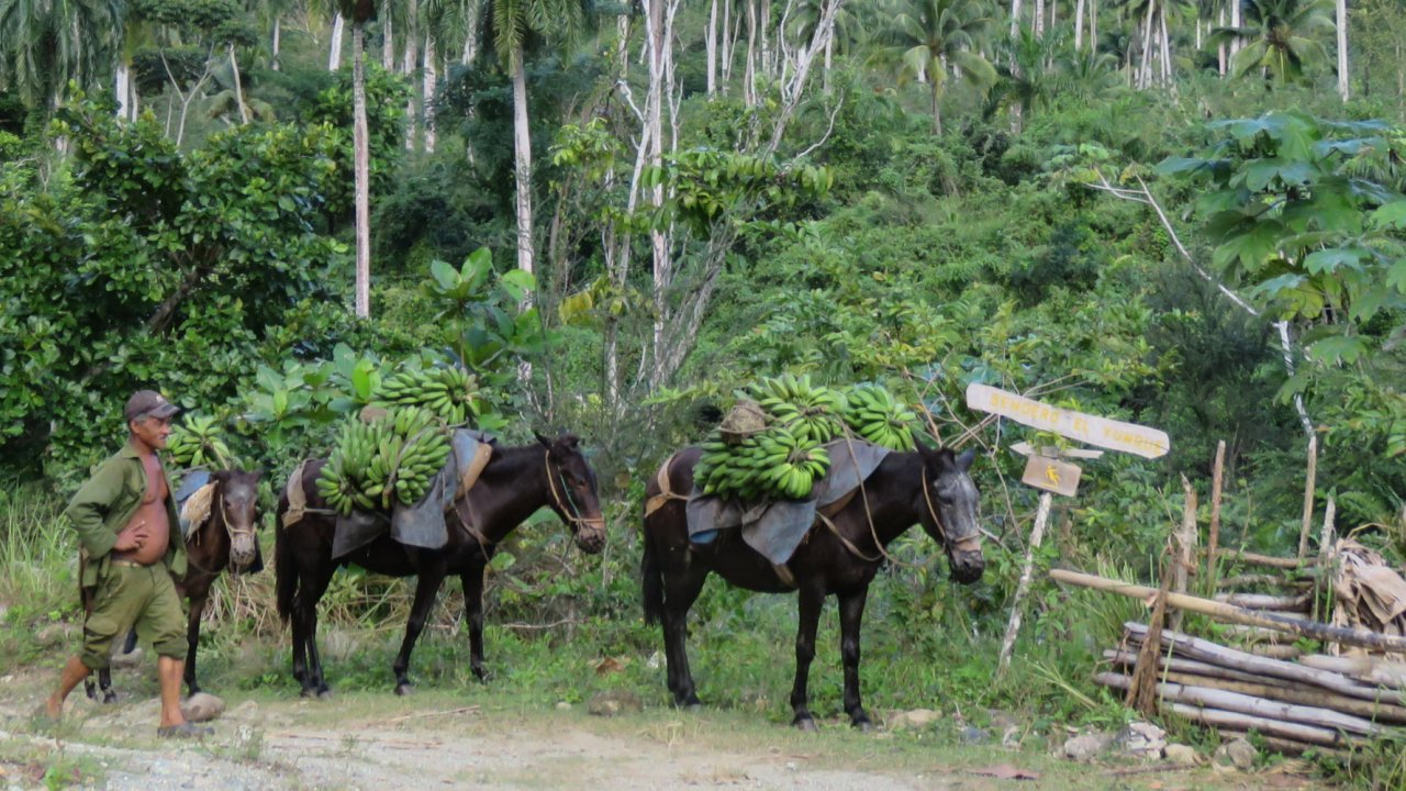 horses carrying produce in Cuba