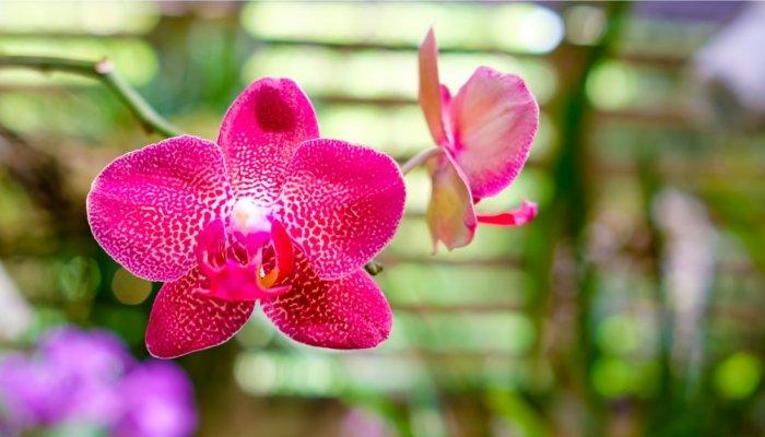Cuba Orchids