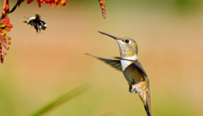 Cuba Bee Hummingbird