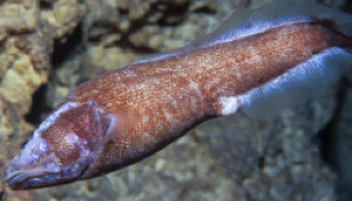 Lucifuga Fish